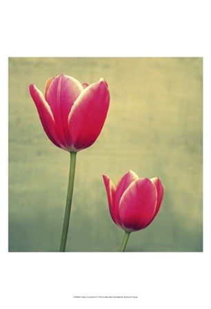 Tulip in Fuchsia II by Lillian Bell art print